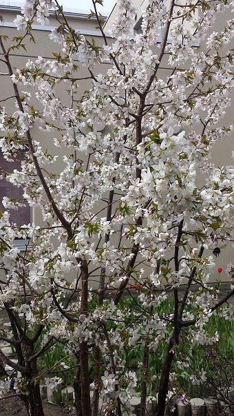 20150501白い桜.jpg