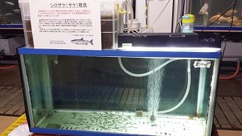 さけ稚魚01.jpg