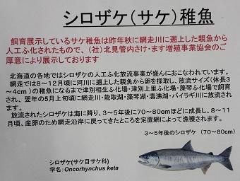 さけ稚魚03.jpg