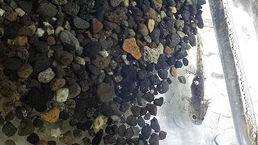 山椒魚01.jpg
