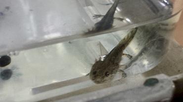 山椒魚03.jpg