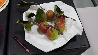 豆リンゴ01.jpg