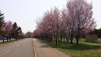 20150502桜_1.jpg