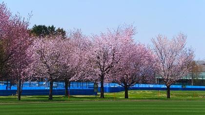 網走の桜3.jpg